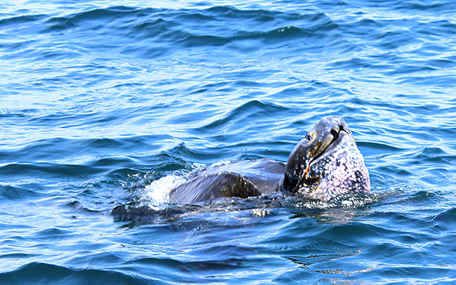 leatherback turtle photo