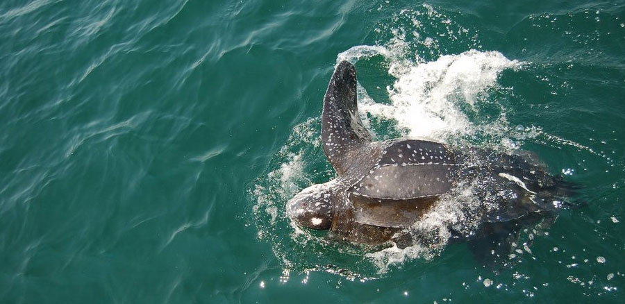 2nd leatherback photo