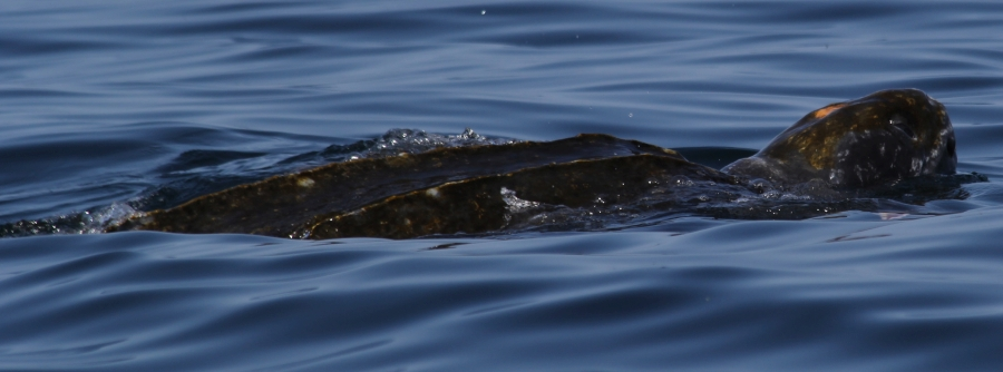 6th leatherback photo
