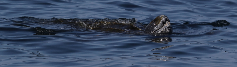7th leatherback photo