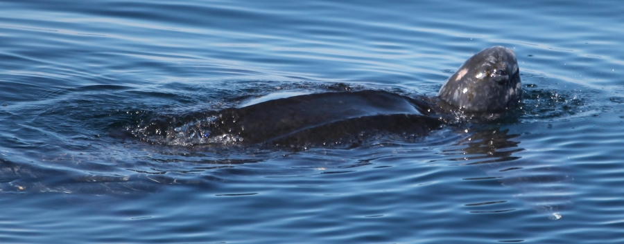 8th leatherback photo