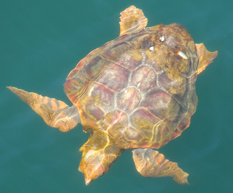loggerhead photo by Amy Warren, Newburyport Whale Watch